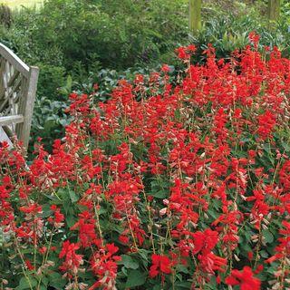 Parks Whopper Lighthouse Salvia Seeds