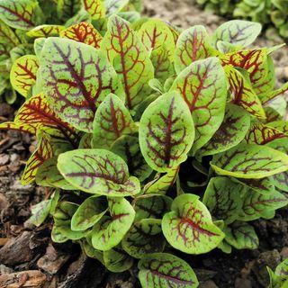 Red-veined Sorrel Seeds