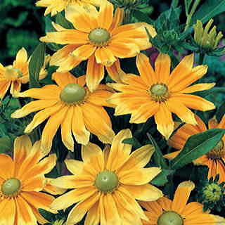 Prairie Sun Gloriosa Daisy Seeds