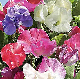 Villa Roma Formula Mix Sweet Pea Seeds