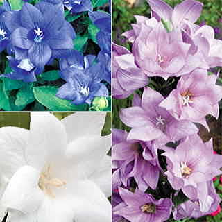 Astra Double Mix Balloon Flower Seeds