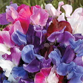 Melody™ Mix Sweet Pea Seeds