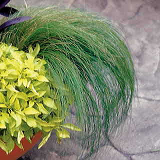Ponytails Mexican Feather Grass Seeds