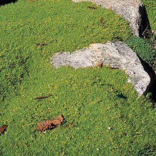 Pearlwort Seeds