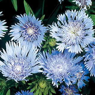 Blue Stokess Aster Seeds