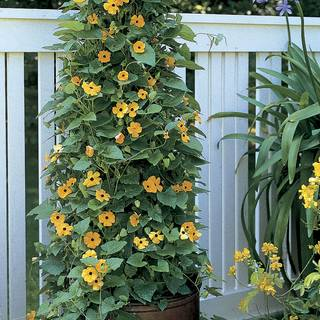 Black-Eyed Susan Vine Seeds