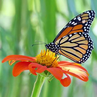 Fiesta del Sol Mexican Sunflower Seeds Image