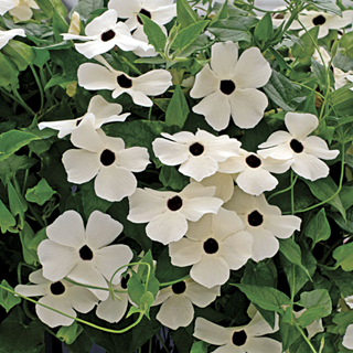 Black Eyed Susan Vine White Black Eye
