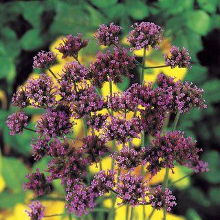 Finesse® Verbena bonariensis Seeds Image