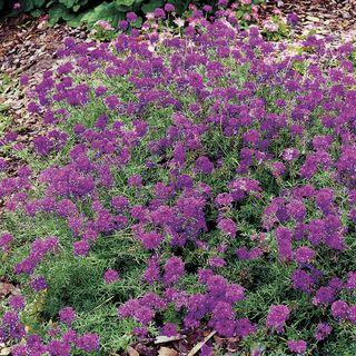 Imagination Verbena Seeds