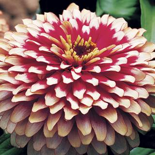Swizzle™ Cherry and Ivory Zinnia Seeds