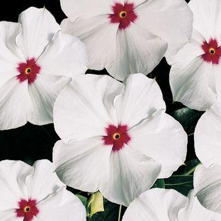 Pacifica Polka Dot Hybrid Vinca Flower Seeds