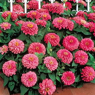 Dreamland™ Pink Hybrid Zinnia Seeds
