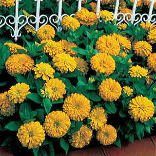 Dreamland™ Yellow Hybrid Zinnia Seeds