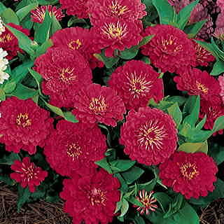 Dreamland™ Red Hybrid Zinnia Seeds