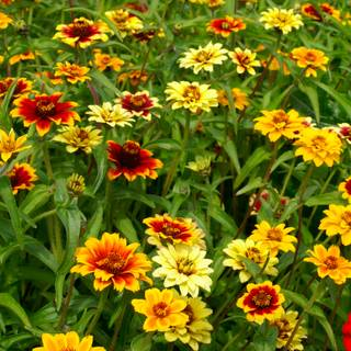 Persian Carpet Mix Mexican Zinnia Seeds From Park Seed