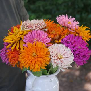 Giant Cactus Mix Zinnia Seeds