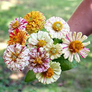 Peppermint Stick Zinnia Seeds