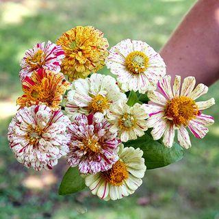 Peppermint Stick Zinnia Seeds