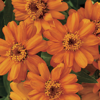 Profusion Orange Zinnia Seeds