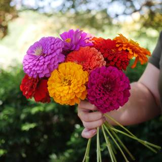 Parks Picks Mix Zinnia Seeds