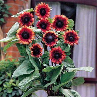 Cherry Rose Sunflower Seeds