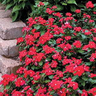Pacifica Really Red Hybrid Vinca Flower Seeds