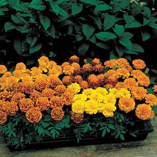 Janie Mix Marigold Seeds