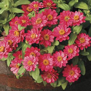 Profusion Double Cherry Zinnia Seeds