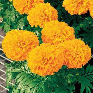 Inca II Orange Hybrid Marigold Seeds