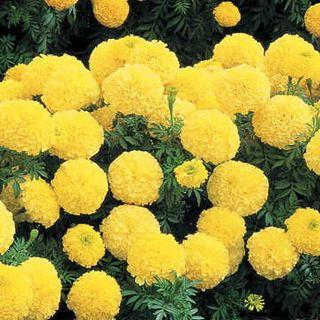 Inca II Primrose Hybrid Marigold Seeds