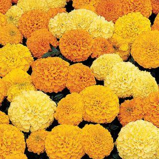 Inca II Hybrid Mix Marigold Seeds