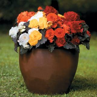 Non-Stop® Mocca Mix Begonia Seeds