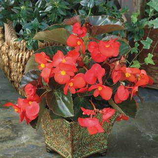 BIG™ Red with Bronze Leaf Begonia Seeds