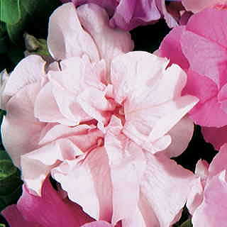 Double Cascade Pink Hybrid Petunia Seeds