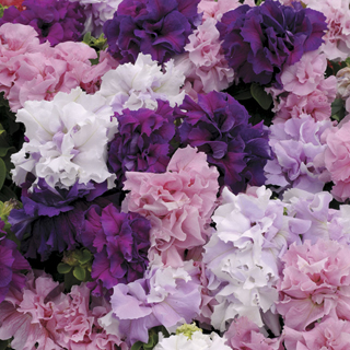 Double Cascade Hybrid Mix Petunia Seeds
