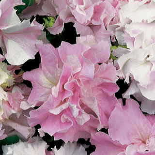 Double Cascade Orchid Mist Hybrid Petunia Seeds
