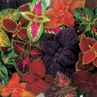 Giant Exhibition Complete Mix Coleus Seeds