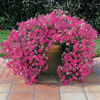Tidal Wave™ Hot Pink Hybrid Petunia Seeds