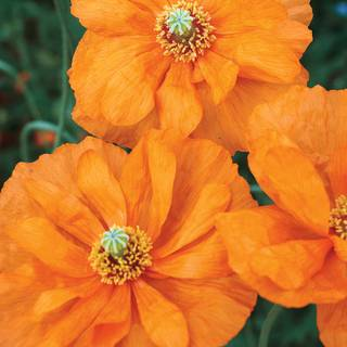 Double Tangerine Gem Poppy Seeds