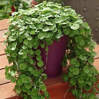 Emerald Falls Dichondra Ground Cover Seeds