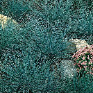 Blue fescue perennial seeds for Ornamental grasses that stay green all year