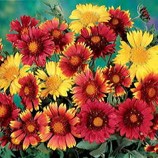 Painters Palette Blanket Flower Seeds