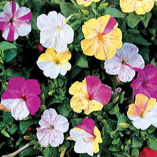 Broken Colors Four-OClock Flower Seeds