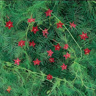 Red Cypress Vine Seeds