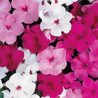 Accent Mystic Hybrid Mix Impatiens Flower Seeds