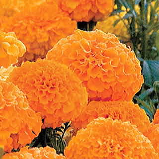 Parks Whopper Orange Marigold Seeds