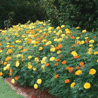 Parks Whopper Mix Marigold Seeds