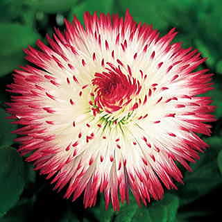 Habanera® Red Tips English Daisy Seeds