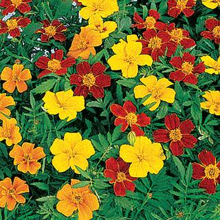 Disco Mix Marigold Seeds